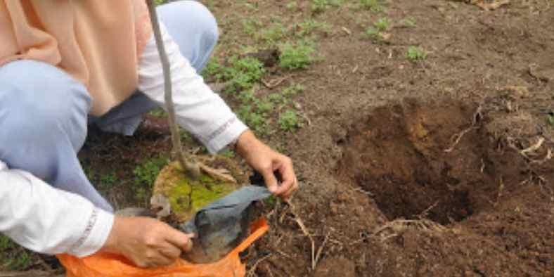 Cara Menanam Pohon Rambutan Agar Cepat Berbuah dan Lebat