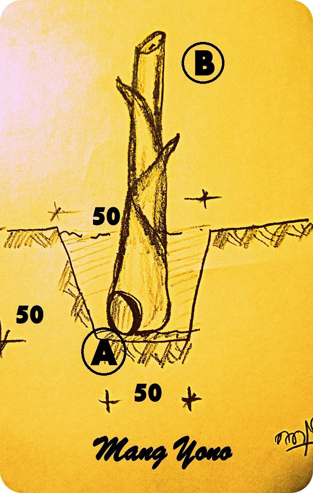 Cara Menanam Pohon Pisang