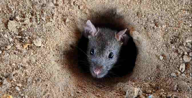 How to Get Rid of Rats in a Safe Home for Health