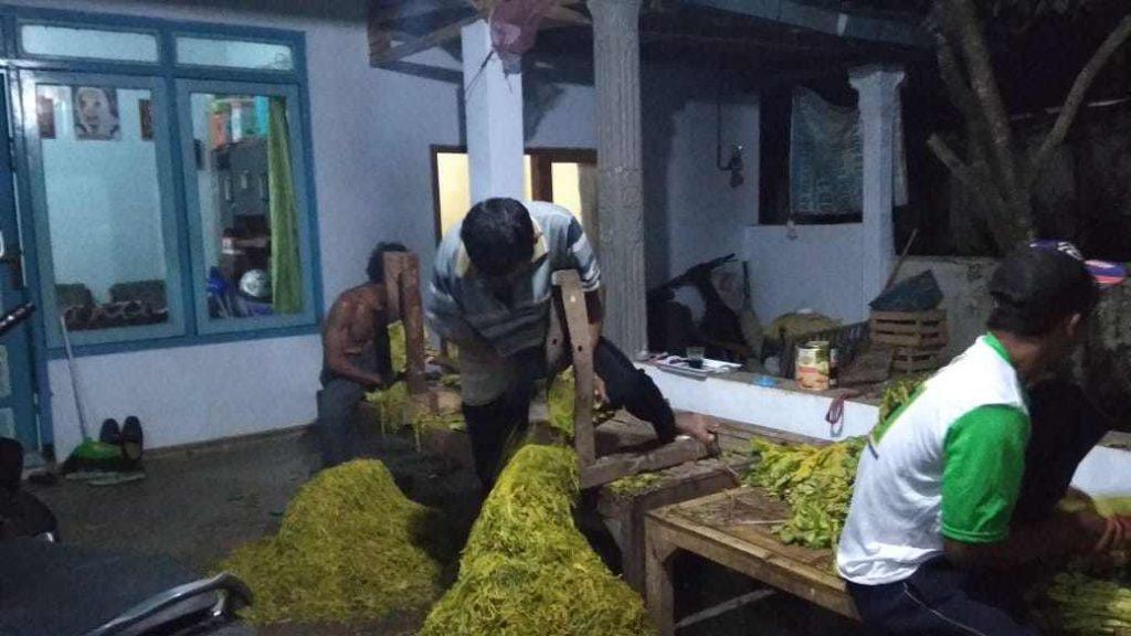 Potensi Jasa Perajang Tembakau Cukup Menjanjikan di Bondowoso
