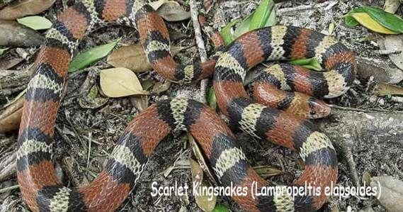 Scarlet Kingsnakes (Lampropeltis elapsoides)